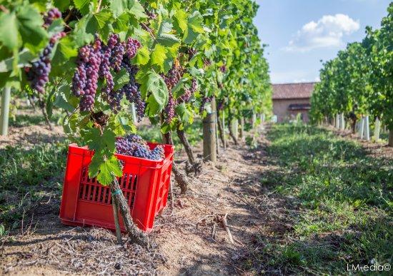 Montemagno, Italien: Le nostre vigne