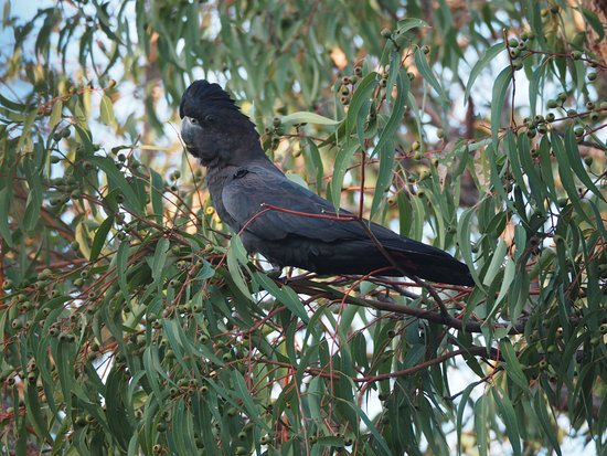 Gooseberry Hill, Australia: Black cockatoo