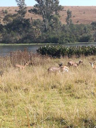 Muldersdrift, Sydafrika: Springbok near dam