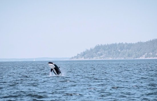 Port Townsend, WA: The baby breaching