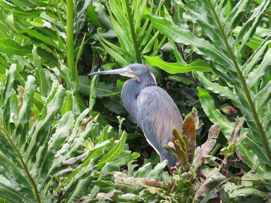 Wakodahatchee Wetlands: Héron bleu
