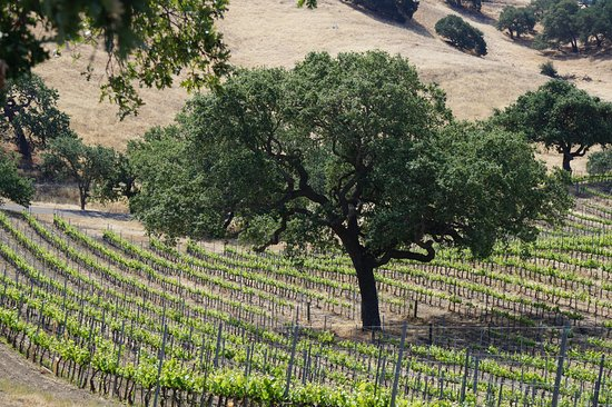 Santa Ynez, CA: Beauty and serenity, an oak and his friends the vines.