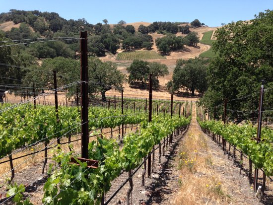 Santa Ynez, CA: Golden hills and green vineyards