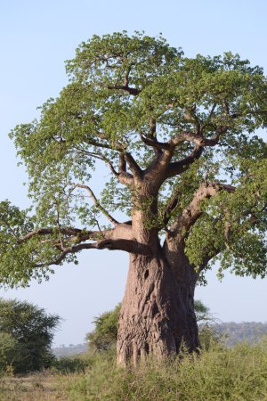 Tarangire National Park, Tanzania: great Baobab trees all over Tarangire