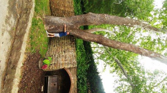 Hermann, MO: BIG tree