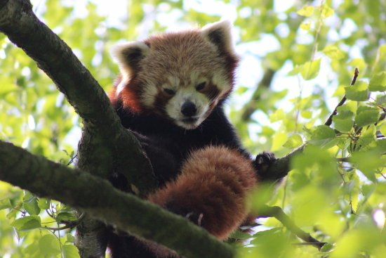 Banham, UK: Very elusive, but it was a hot day, first time I've seen the red panda in many years.