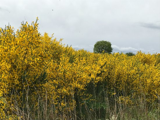Forres, UK: Gorse and broom along all country roads