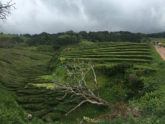 Plantações de Chá Gorreana (Gorreana Tea Plantation): photo1.jpg