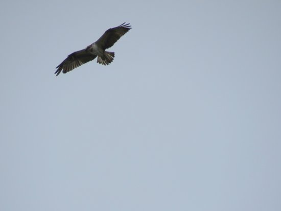 Glendevon, UK: osprey right above while my partner was playing a fish