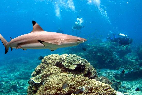 Placencia, Belize: Black Tip Reef Shark
