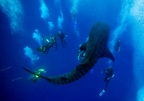 Placencia, Belice: Lucky Divers with Whale Shark