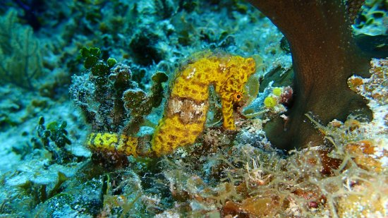 Southern Cross Club: On this dive, we saw 3 different seahorses, each a different color.