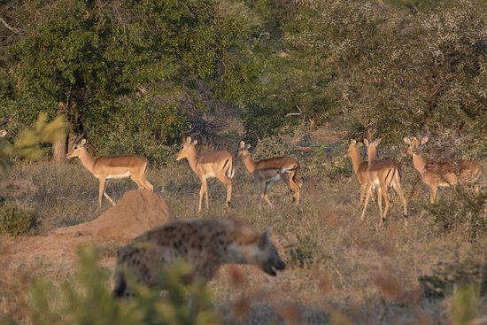Simbavati River Lodge : the ubiquitous impala being stalked by a hyena on game drive