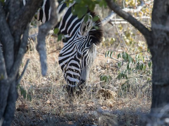 Simbavati River Lodge : Zebras on game drive