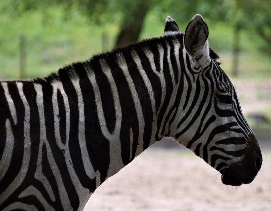 Tilburg, Países Bajos: Zebra