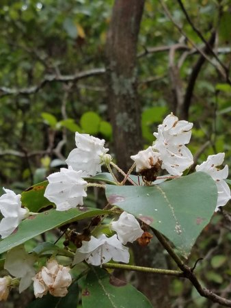 Amicalola Falls State Park: The mountain laurel was in bloom during our visit.