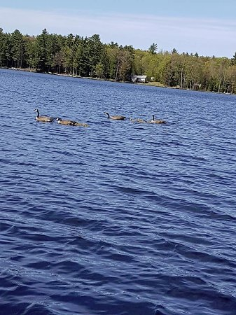 Muskoka District, Kanada: just some geese swimming by the lake