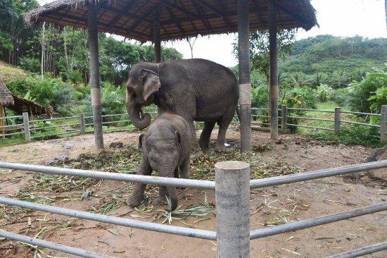 Phang Nga, Thailand: Baby Elephant