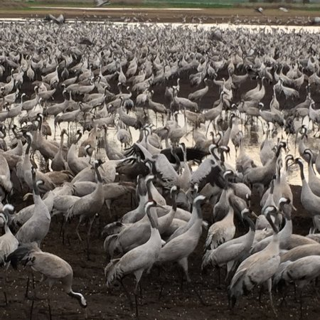 Galilee, Israel: 40,000 migrating cranes--here are a few of them...