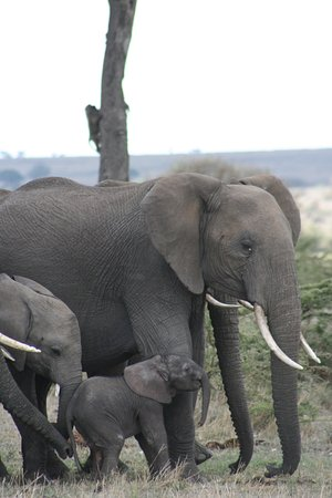 Serian: Our guides found us a 2 hour old elephant upon our arrival at the Mara