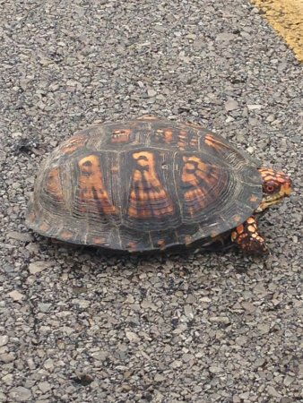 Taylorsville, Кентукки: One of six box turtles we saw on the park and area roads