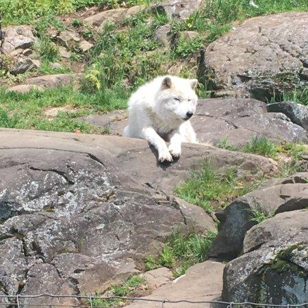 Montebello, Καναδάς: Arctic wolf.