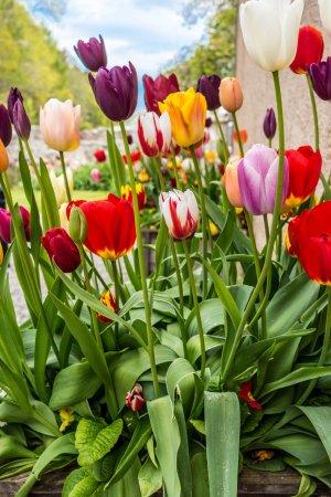Forres, UK: Tulips in garden