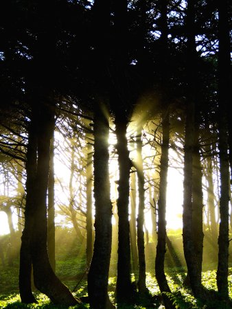 Evening light through the dense pines above the beach, Seal Rock State Park, Oregon