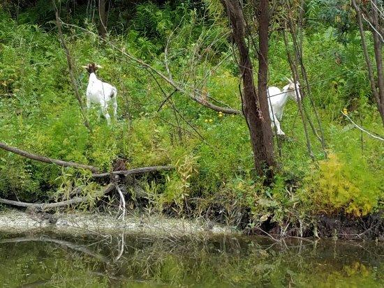 Arcadia, FL: Goats next door
