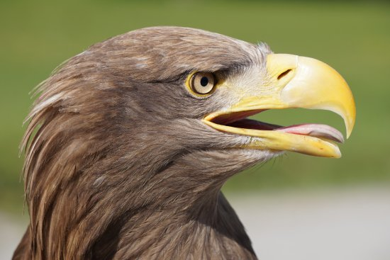 Ballymote, Irlandia: Yes, I was only a few feet away from this magnificent sea eagle when I took this picture!