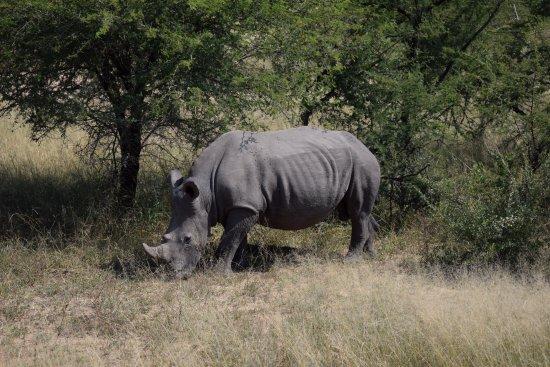 Kruger National Park: Rino en Kruger!