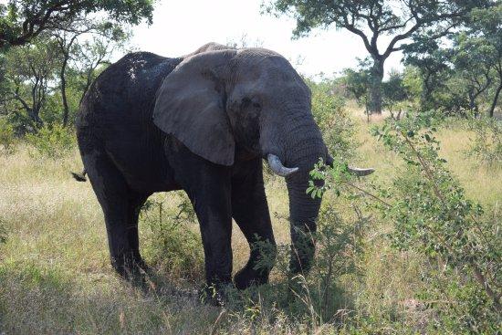 Kruger National Park: Elefante en Kruger!