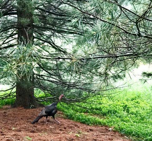 New Canaan, CT: wild turkeys
