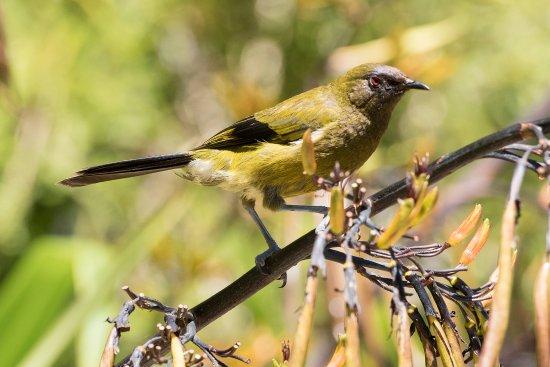 Picton, Nuova Zelanda: Korimako (bellbird) drinking nectar from flax flowers