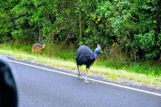 Cassowaries waking on the road on the way to mission beach