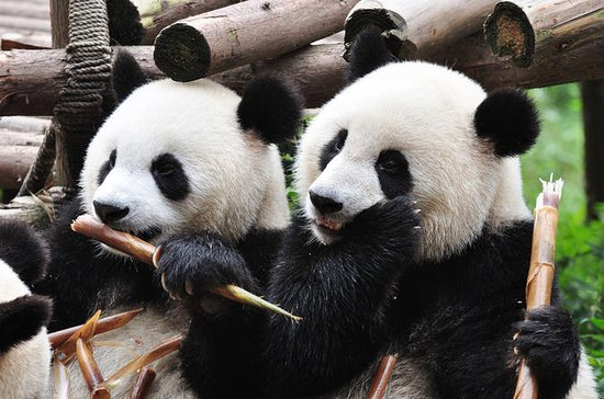 Chengdu, Panda Breeding Center...