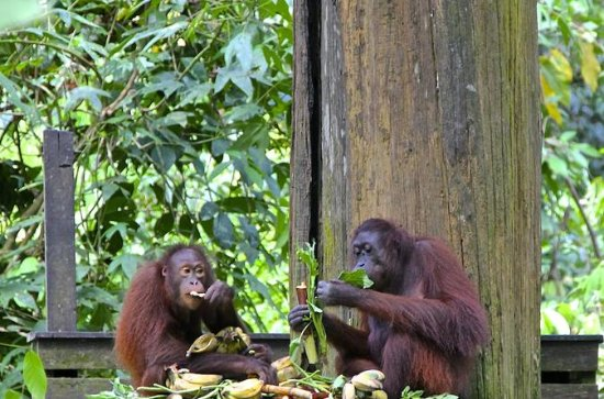 Full-Day Sepilok Orangutan e Sun Bear