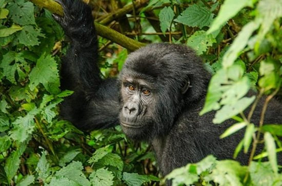 3 Day 2 Night Bwindi Gorillas Trek