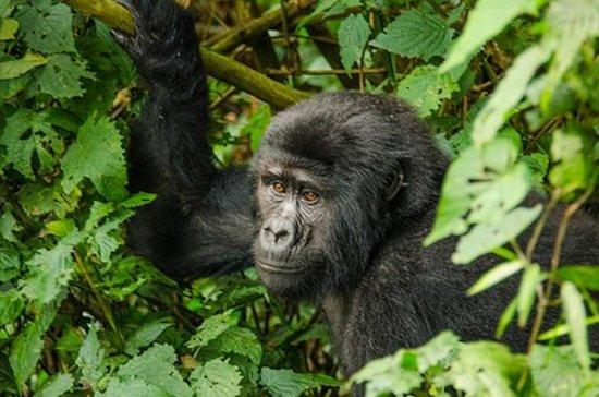 3 Dag 2 Natt Bwindi Gorillas Trek