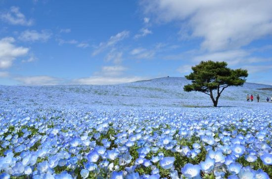 Hitachi Seaside Park and Ashikaga Flower Park from Tokyo
