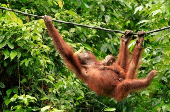 Full-Day Orangutan Rehabilitation...