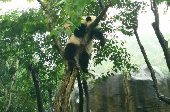 4-Hour Giant Panda Experience Private...