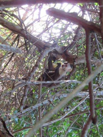 Parque Nacional Natural Tayrona: A monkey eating a banana