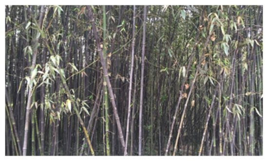 Yueyang, China:  bamboos in Junshan Island