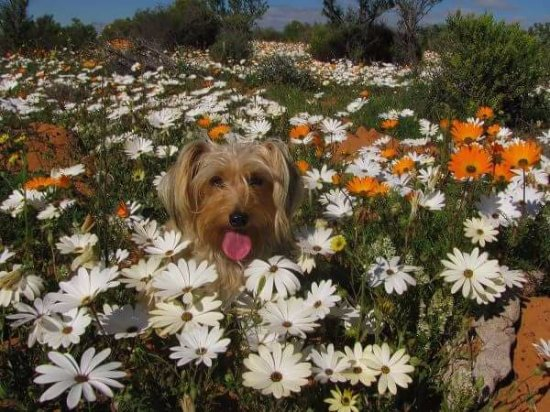 Cederberg, Νότια Αφρική: Furry friends in flowers
