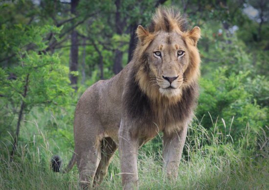 Marloth Park, South Africa: King of the wild. We were fortunate to come upon this group of male lions, that were not shy