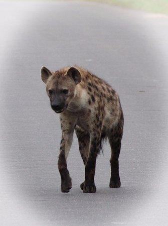 Marloth Park, Afrika Selatan: rare day sighting