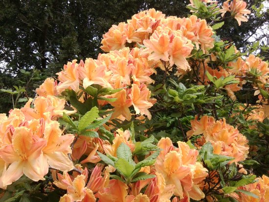 Slough, UK: Rhododendron in Langley Country Park