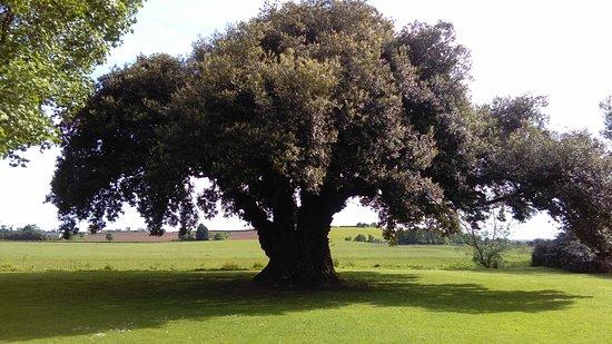 Westbury on Severn, UK: Huge Oak