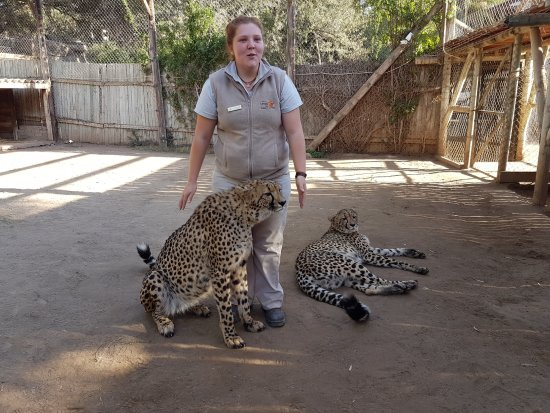 Oudtshoorn, Güney Afrika: Our Guide with the Cheetah encounter